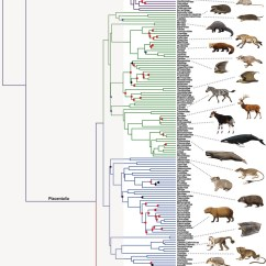How To Construct A Tree Diagram Federal Signal Pa300 Wiring New Phylogeny Of The Mammals « Why Evolution Is True