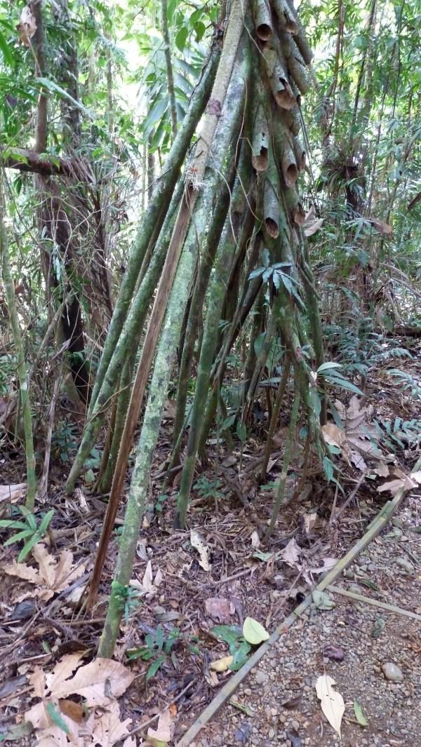Stilt Roots Evolution True