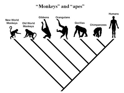 We're all apes, including Dawkins « Why Evolution Is True