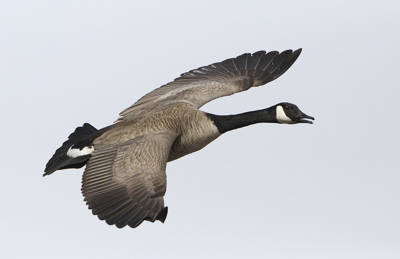 Canada Goose Information Books