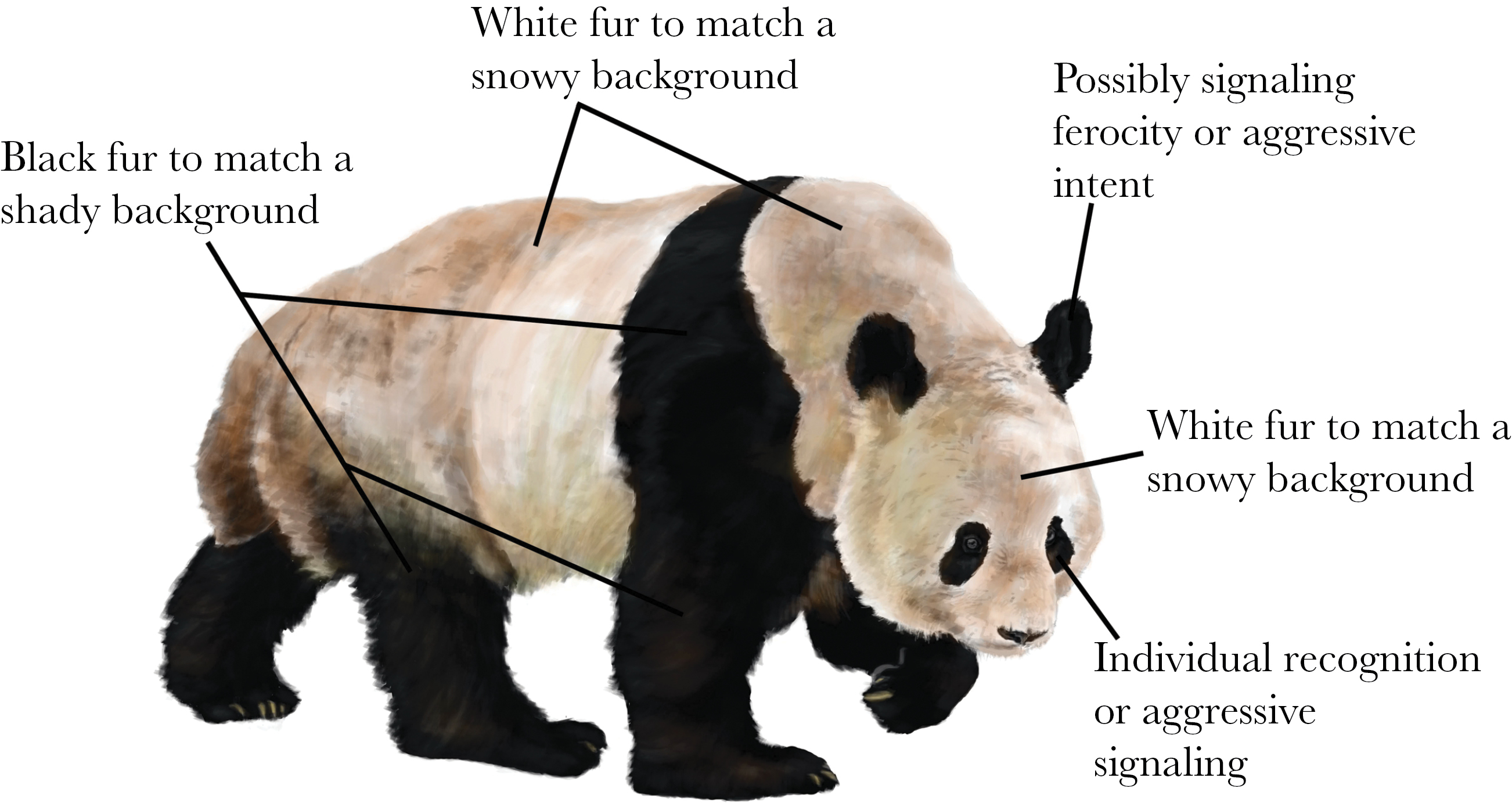 panda bear diagram electrical wiring diagrams for outlets why are giant pandas colored that way answer it s complicated from paper working hypotheses pelage coloration in the drawing by ricky patel