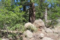 Rocky Ridge agave and pines