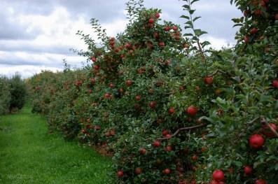 AppleOrchard