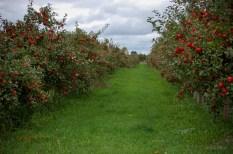 AppleOrchardAisle
