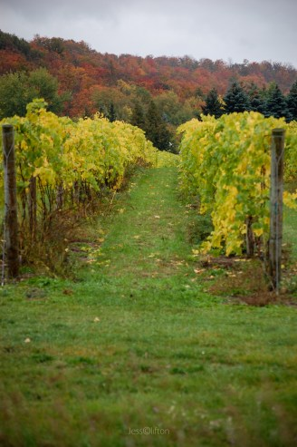 Fall_Vineyard_Aisle