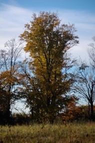 Lone_Yellow_Tree
