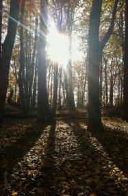 Sun Flare Through Fall Trees