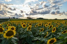 Bowing Sunflowers