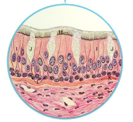 cilia lining the bronchus