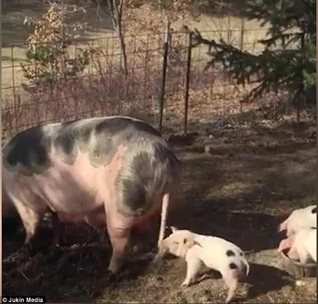 Mother-pig calmly eats while her baby vigorously grabs and pulls on her tail