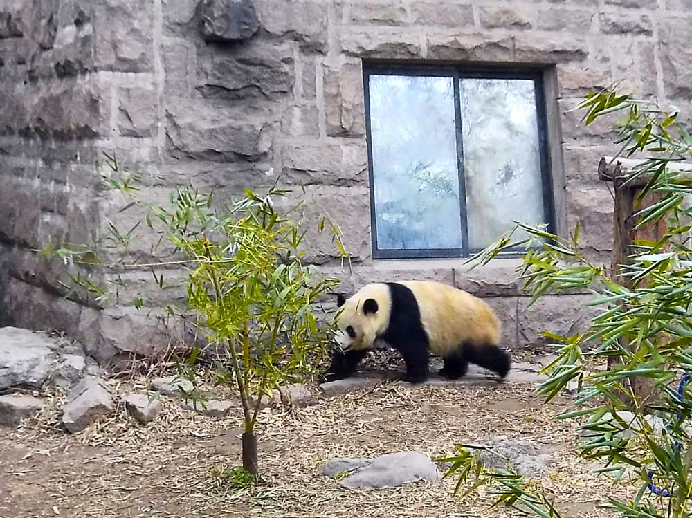 A Giant Panda Walking Between Bamboo at its Enclosure at the Beijing Zoo - How to Visit the Giant Pandas in Beijing