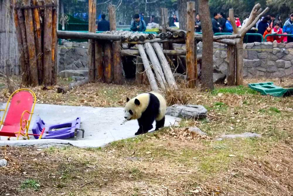 A Giant Panda at the Beijing Zoo - How to Visit the Giant Pandas in Beijing