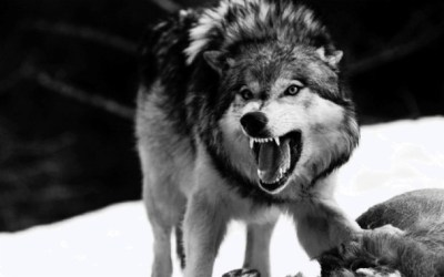 Angry Wolf Pictures Hd 5022x3138 Download HD Wallpaper WallpaperTip
