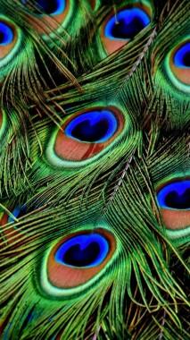 Hd Wallpaper Peacock Feather 720x1280 Download Hd Wallpaper Wallpapertip