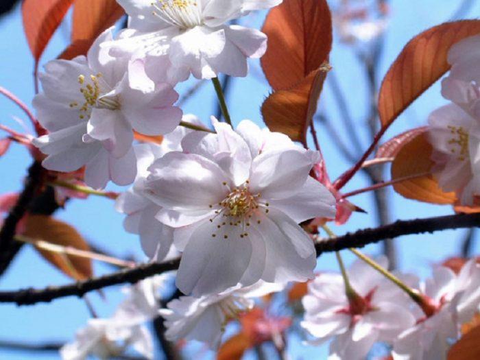 Mengenal Bunga Sakura, Tumbuhan Paling Ikonik saat Musim Semi di Jepang 5