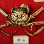Heikegani, Kepiting Unik Berpola Wajah Topeng Samurai Marah 16