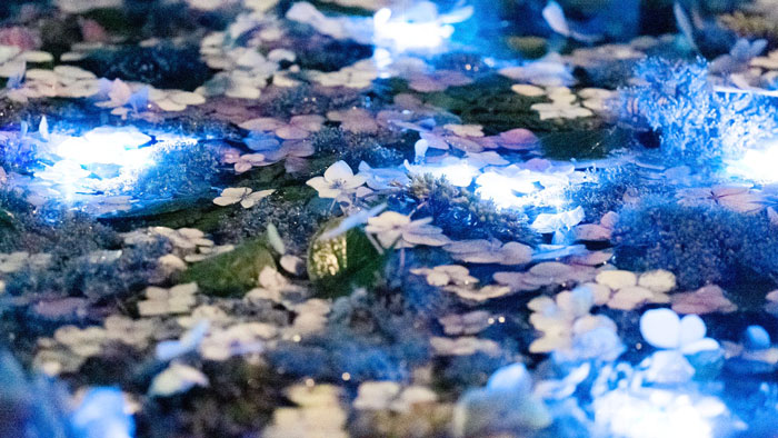 Tangkapan Foto Night Hydrangea yang Diambil Yukari Mitani 3