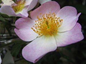 Foto van een roze roos - klimroos.
