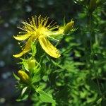 Volgens de traditie bloeit sint-janskruid op de geboortedag van Johannes de Doper, 24 juni, maar dit jaar veel later