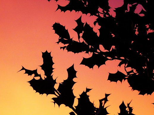 Zonsopkomst. Rode lucht achter silhouetten van hulstbladeren. Foto Loes.