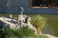 Lemurs on a rock