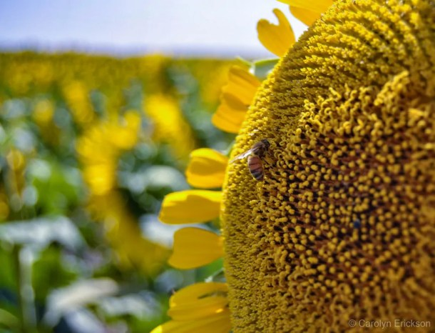 Sunflower with honeybee