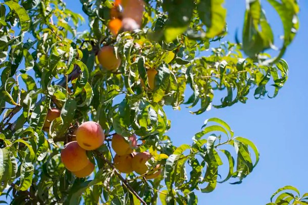 Where to pick peaches near Wichita, Kansas. Our family picked these gorgeous, delicious you-pick peaches were at Meadlowlark Farms near Wichita last year.