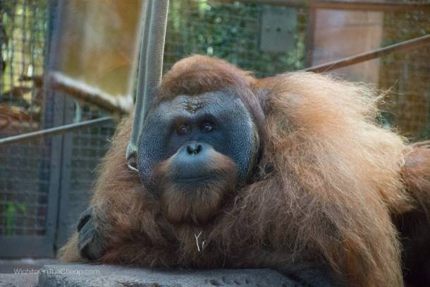 primate at sedgwick county zoo