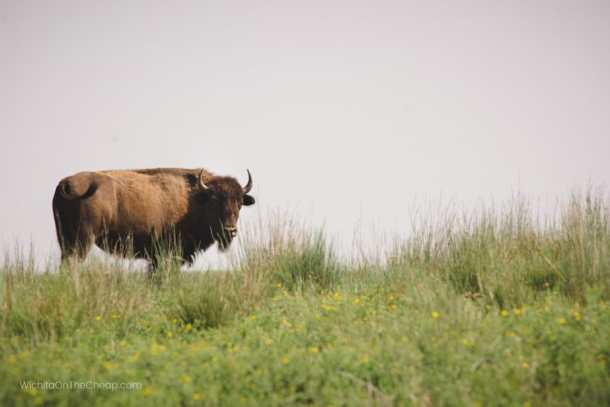 Bison seen from the road at Maxwell Wildlife Refuge Canton Kansas