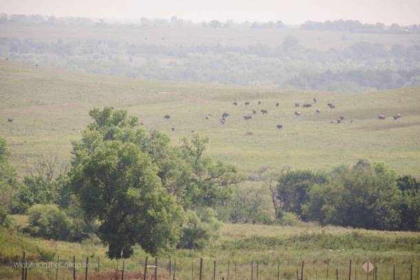 Bison grazing in the distance - view from the observation tower at the Maxwell Wildlife Refuge near Canton, KS