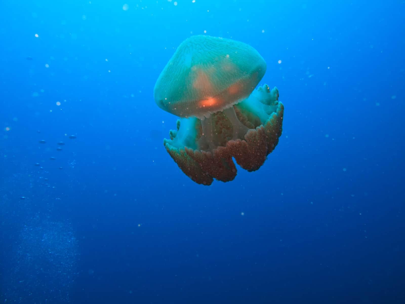 Box Jelly Fish Dangerous Animals