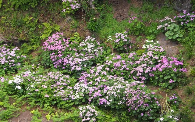 Azores: Hydrangea Everywhere