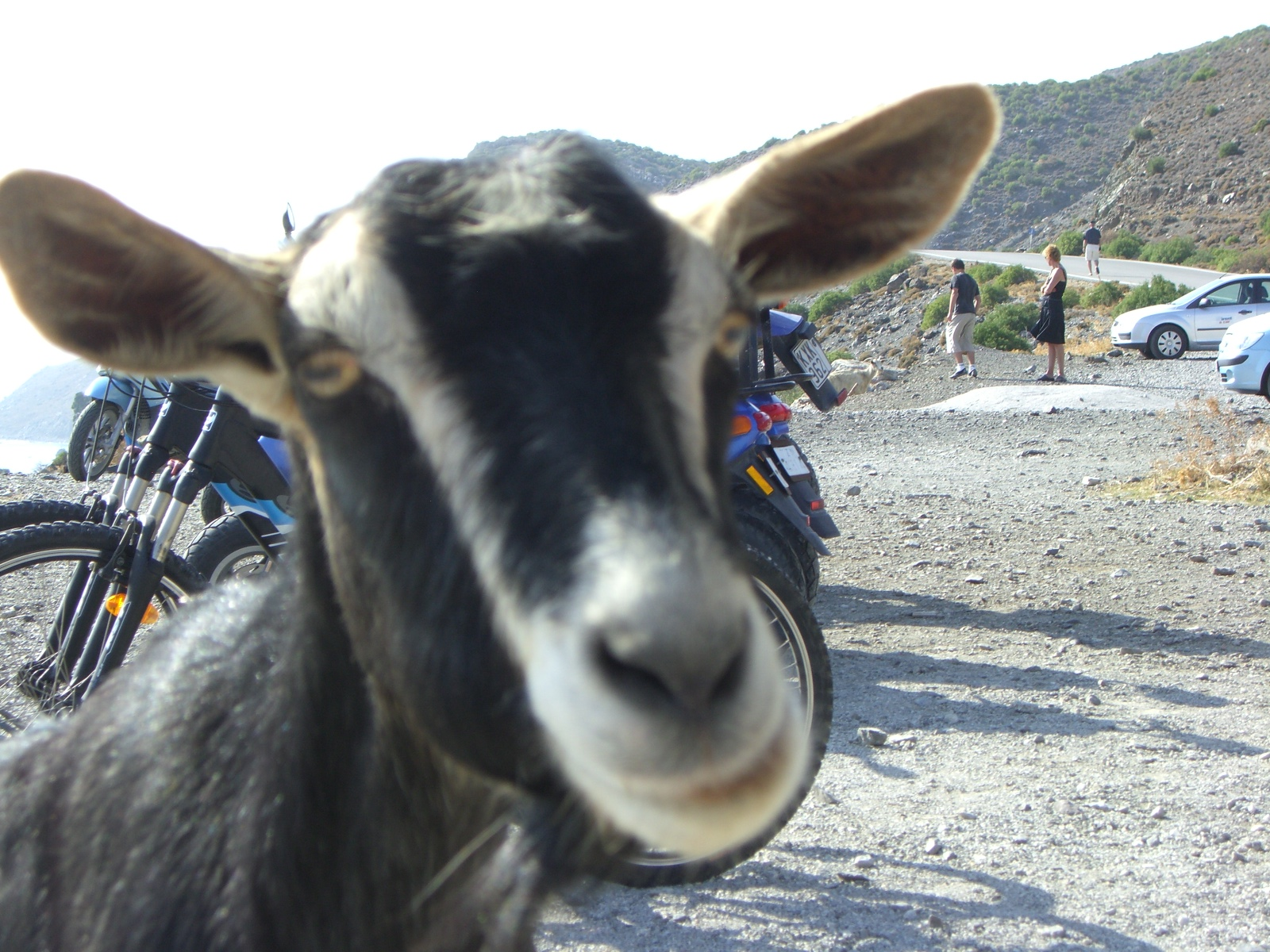 This is one goat who knows how to mug for a camera