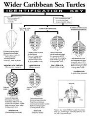 Taxonomic Key to Caribbean Sea Turtles