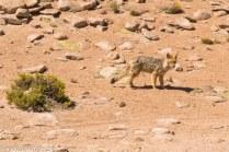 Fox, Bolivia