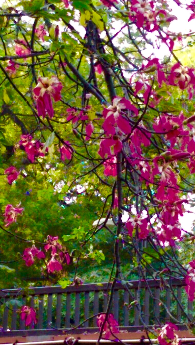 Most Beautiful Tree Kachnar Orchid Tree Asia Widen Your Horizon