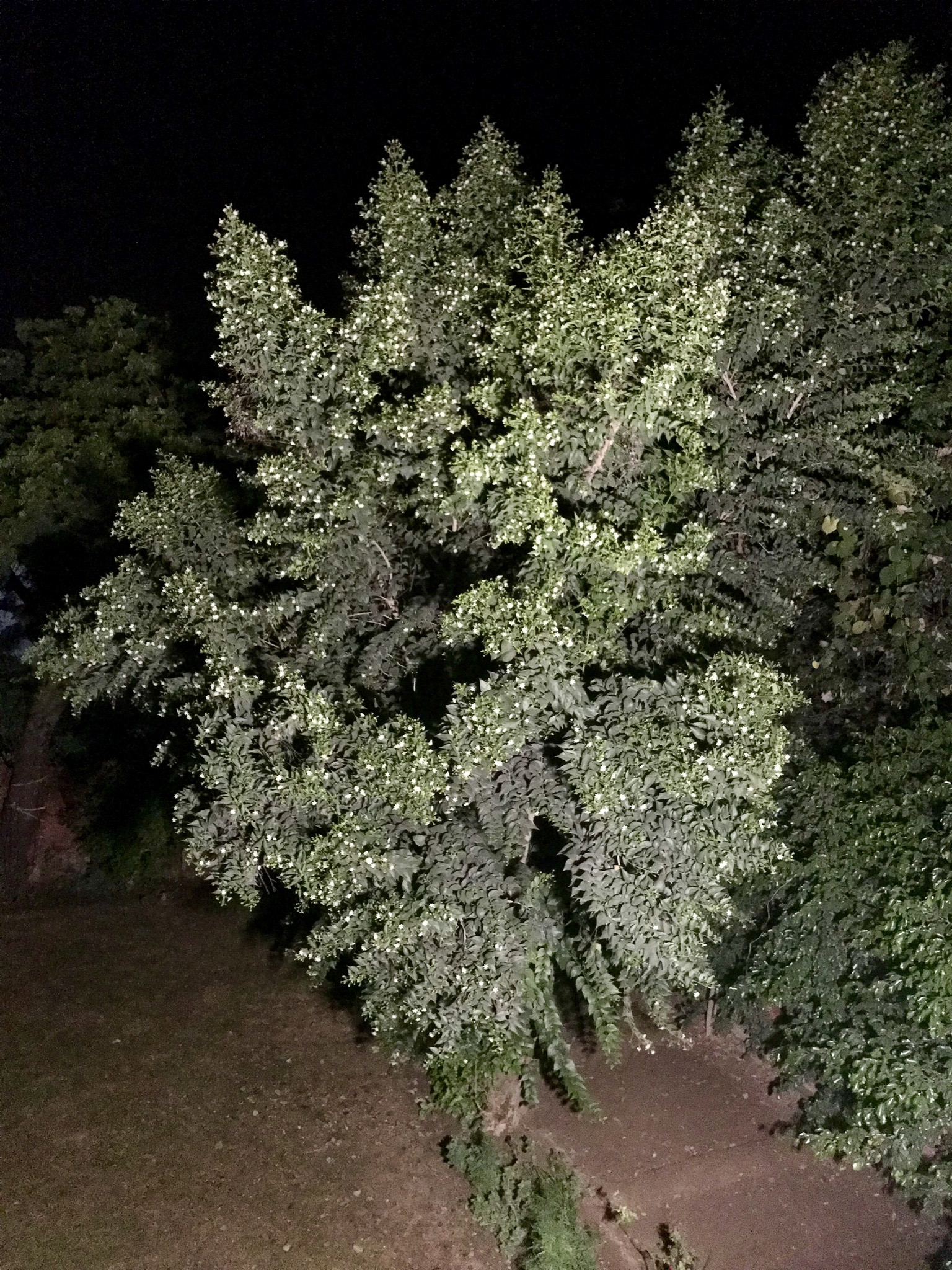 Night flowering jasmine full of natural cures widen your horizon we installed a flood light to see the night jasmine tree in our garden at night since the flowers shed at sunriseis plant is native to parts of asia izmirmasajfo