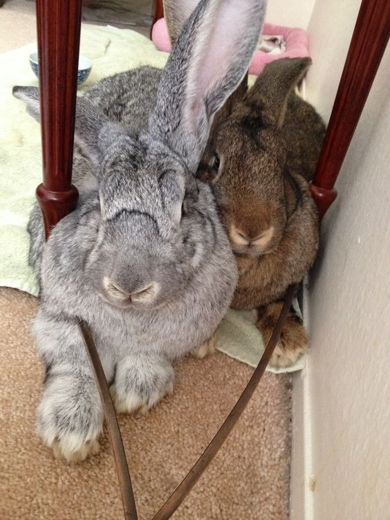 Giant Flemish Rabbit For Sale Near Me : giant, flemish, rabbit, Flemish, Giant, Rabbits:, Really, Takes