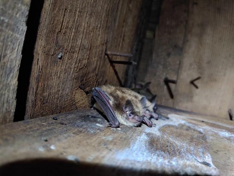 little brown bats roosting attic_Paul White (2).jpg