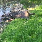 Strażacy wyłowili martwego dzika z jeziora Zakrzewskiego