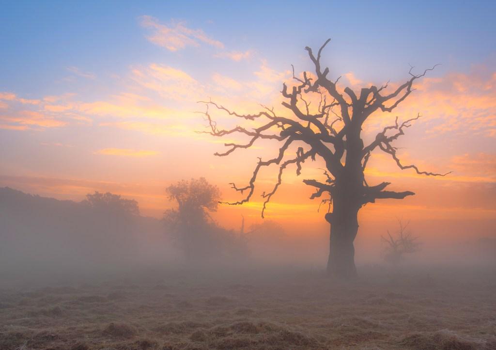 Rogaliński Park Krajobrazowy. Stuletnie dęby we mgle.
