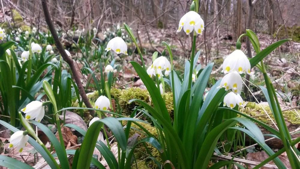 Kwitnienie śnieżycy wiosennej w rezerwacie Śnieżycowy Jar