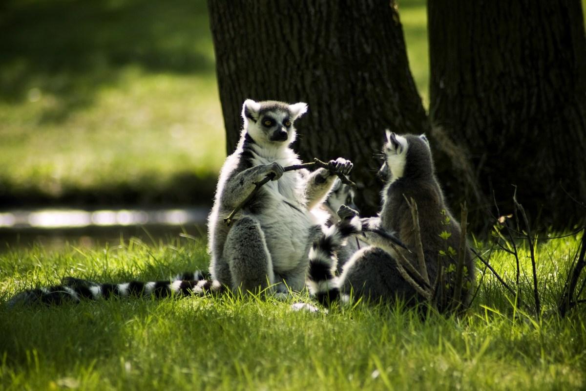 Zoo w Poznaniu. Lemury na trawie.