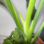 Neues Blatt bei Zimmerpflanzen