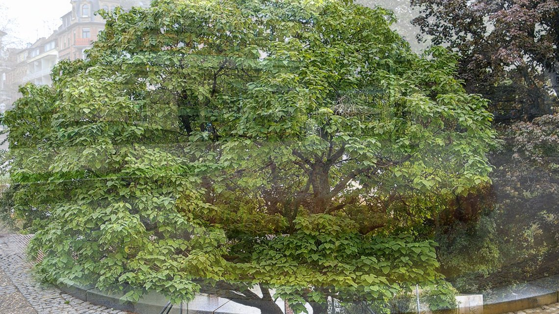 Neuer Baum für den Kochbrunnenplatz. Foto: Volker Watschounek