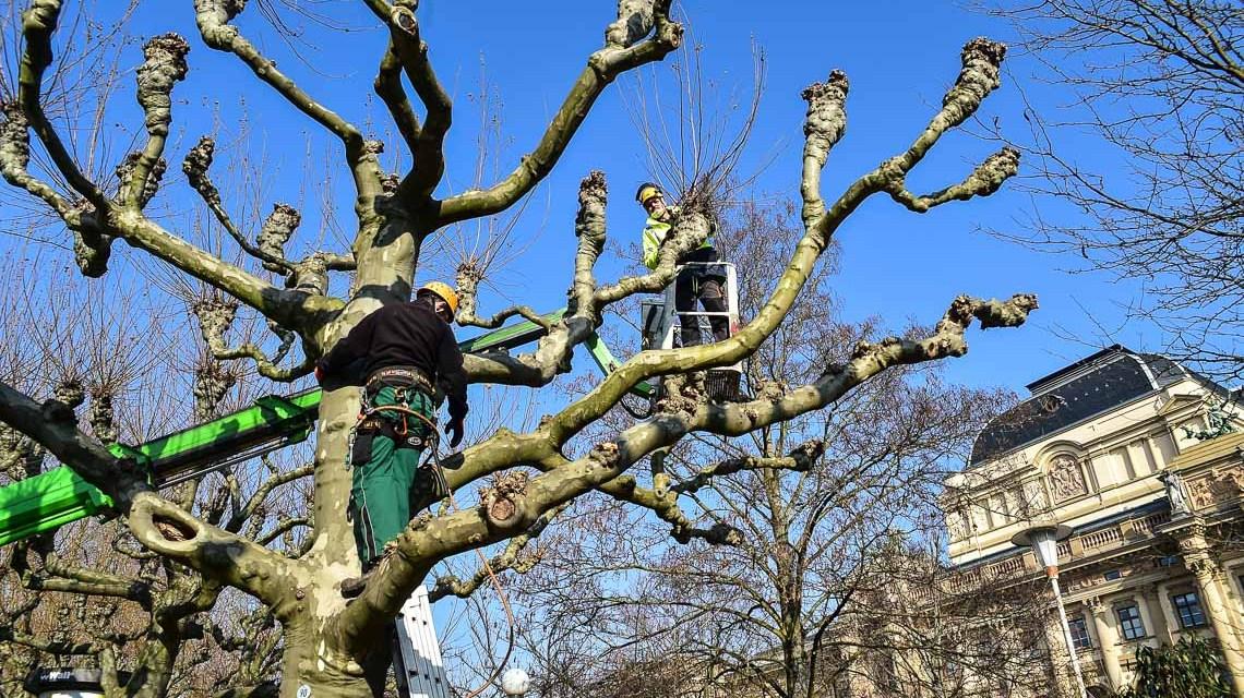 Aucgh im Frühjahr ist das Grünflächenamt gefragt: Beim Rückschnitt von Bäumen.