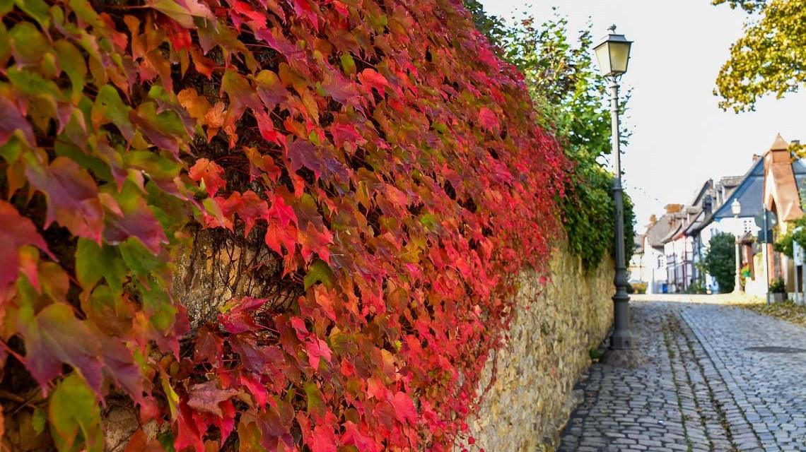 Herbstimpressionen am Rhein bei Eltville, Burg Grass Bild: Volker Watschounek