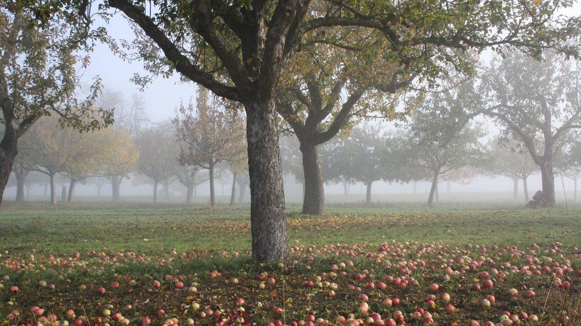 Streuobstwiesen bieten Erholung und liefern gesunde Lebensmitteln. Diese Kulturlandschaft beherbergt in der Region dazu die meisten Tier- und Pflanzenarten. Bild: Ulrich Kaiser