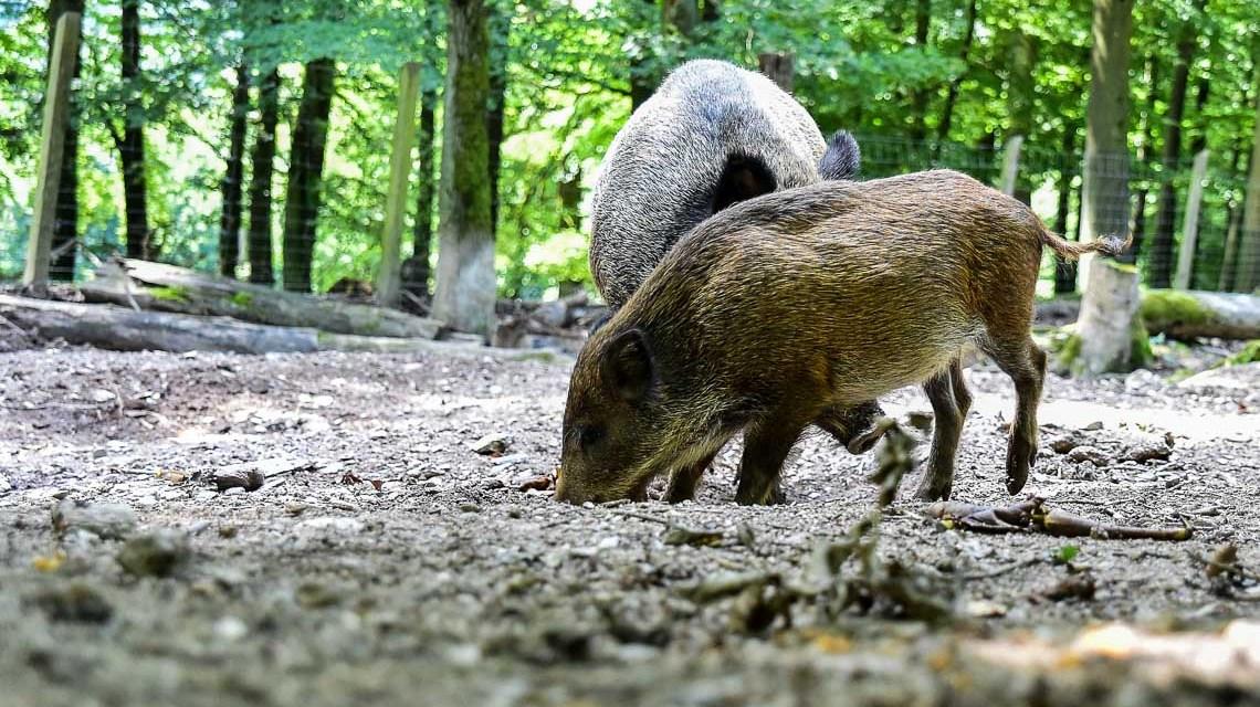 Fasanerie Wiesbaden. Wildschweine. Bild: Volker Watschounek