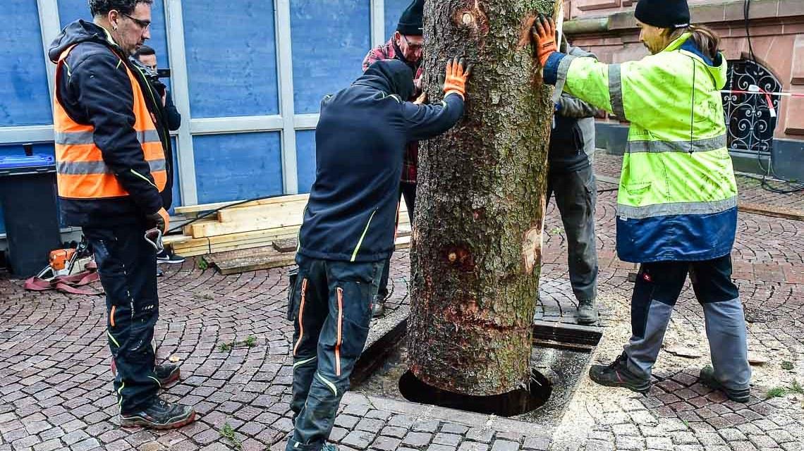 Der Wiesbadener Weihnachtsbaum steht